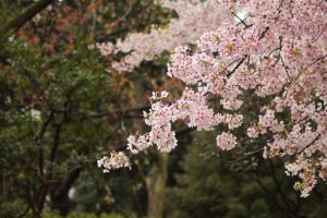 ชมซากุระญี่ปุ่น ที่ไหนดี